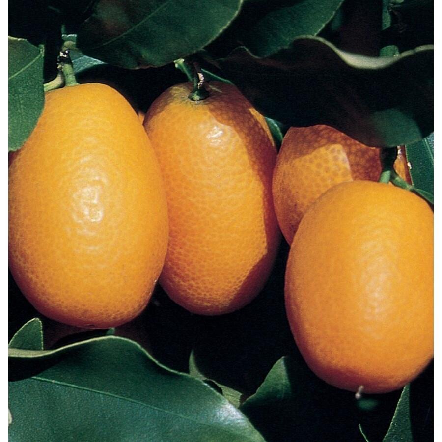 1-Gallon Kumquat Tree (L6099)