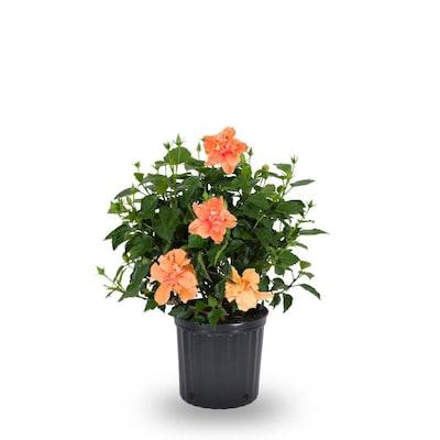 2 Gallon Multicolor Hibiscus Flowering Shrub In Pot L10437