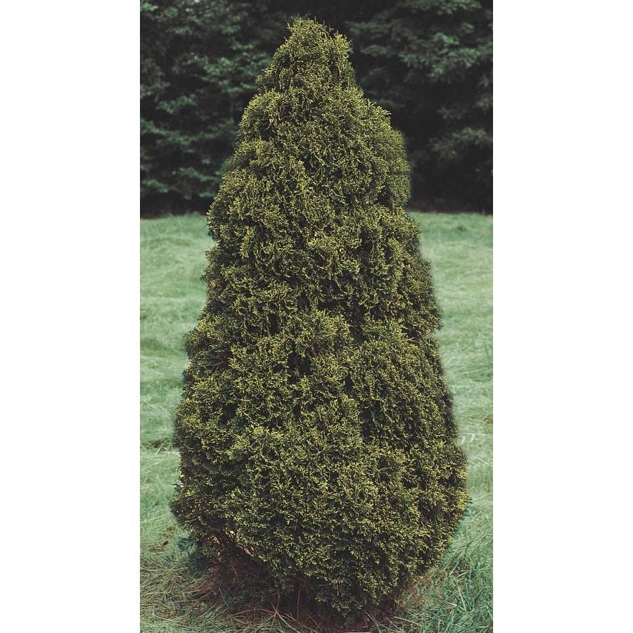 7.96-Gallon Holmstrup Arborvitae Feature Shrub (L7243)