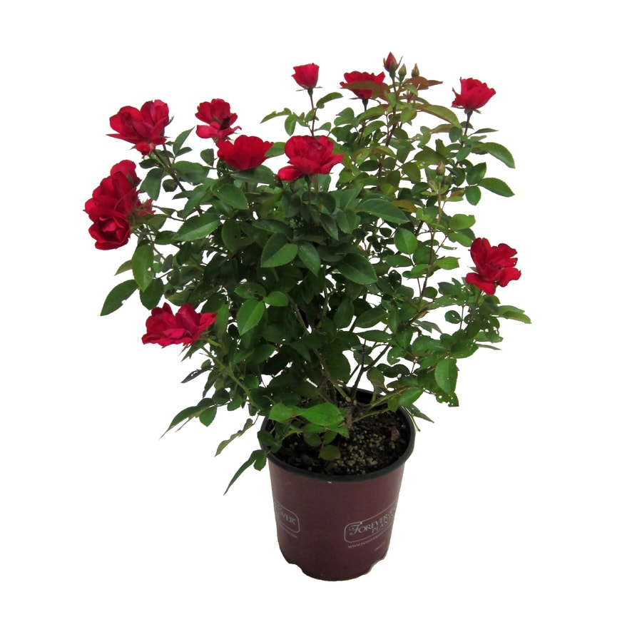 1-Gallon Mixed Rose Flowering Shrub