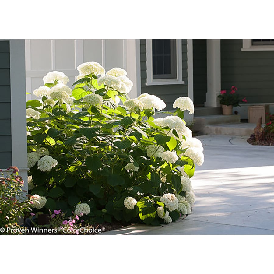 2-Gallon White Smooth Hydrangea Flowering Shrub