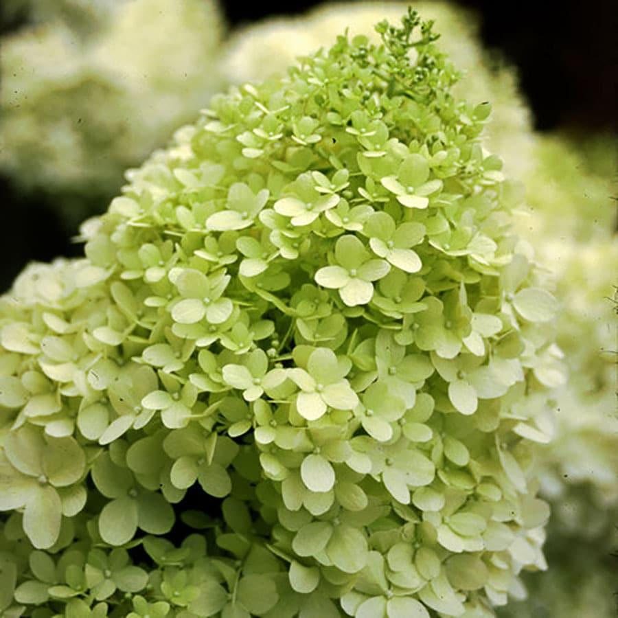 2-Gallon Green Hardy Hydrangea Feature Shrub