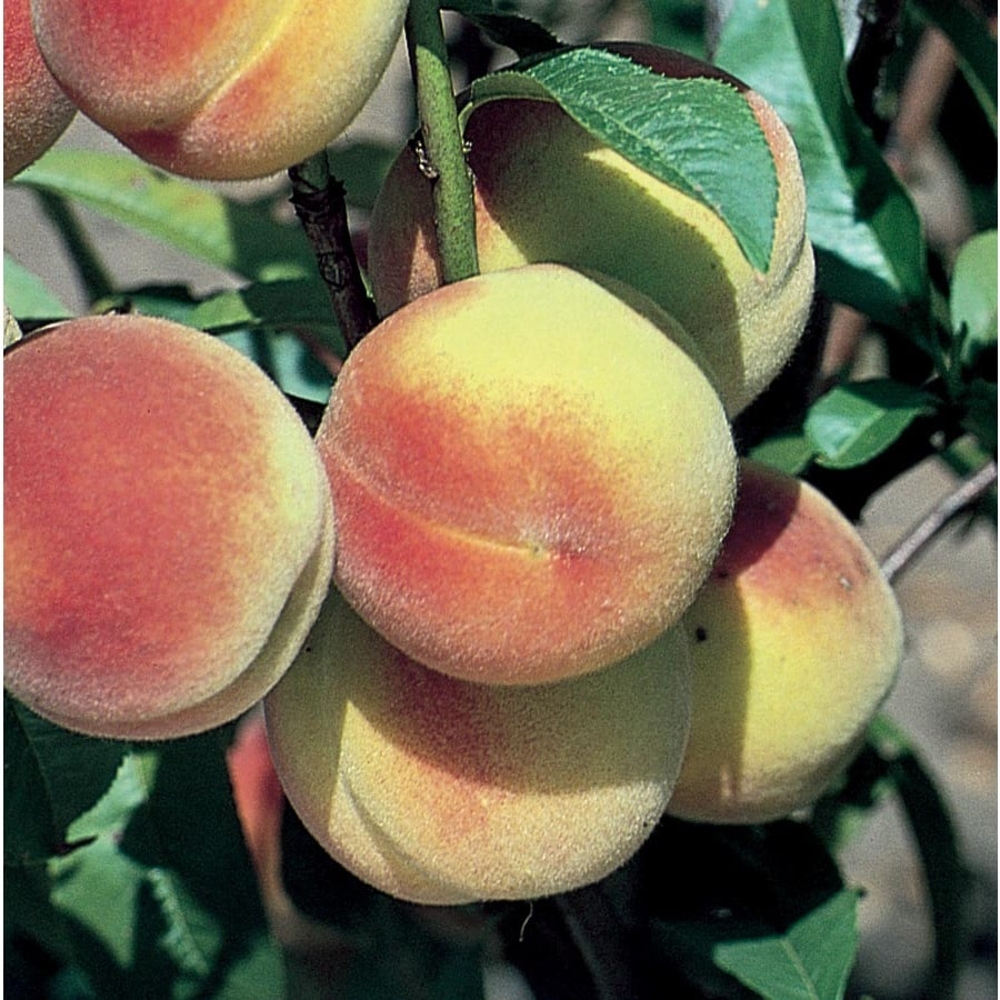 6.23-Gallon Hale Haven Semi-Dwarf Peach Tree (L4545)