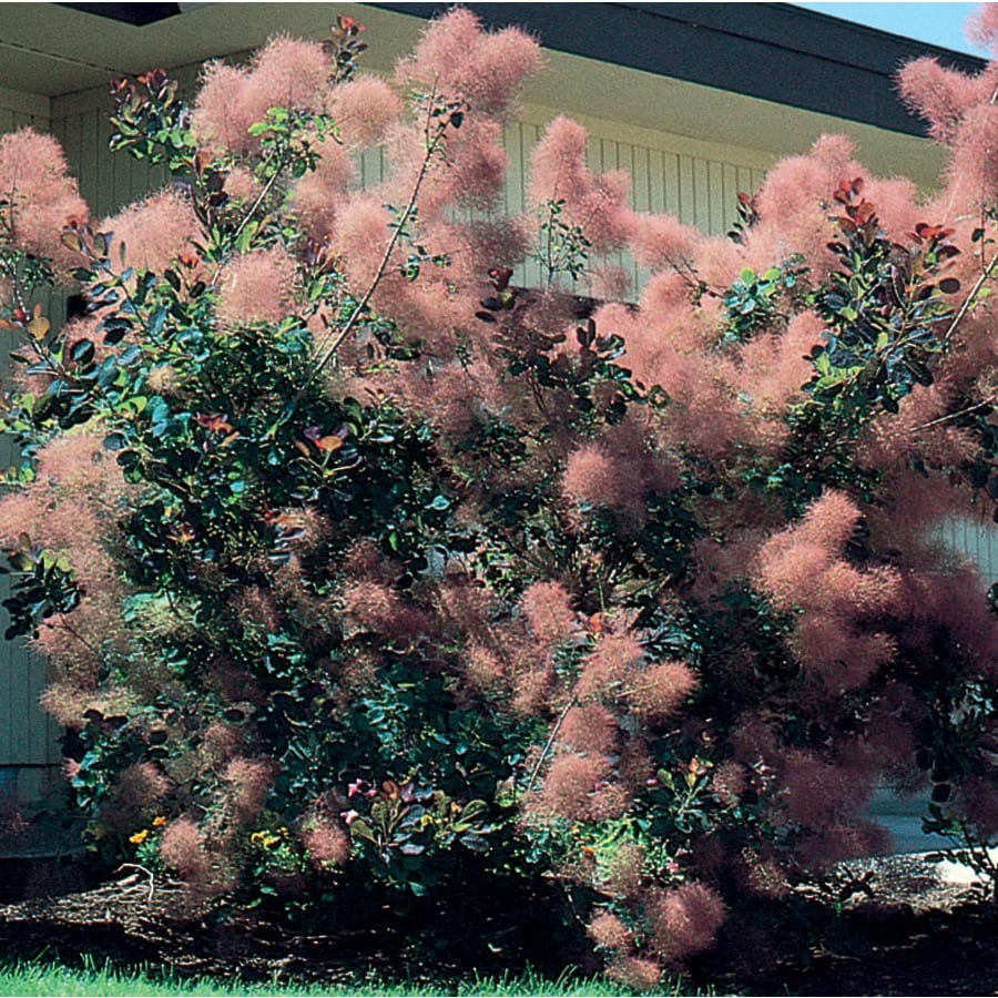 3.74-Gallon Pink Smoke Tree Feature Shrub (L4697)