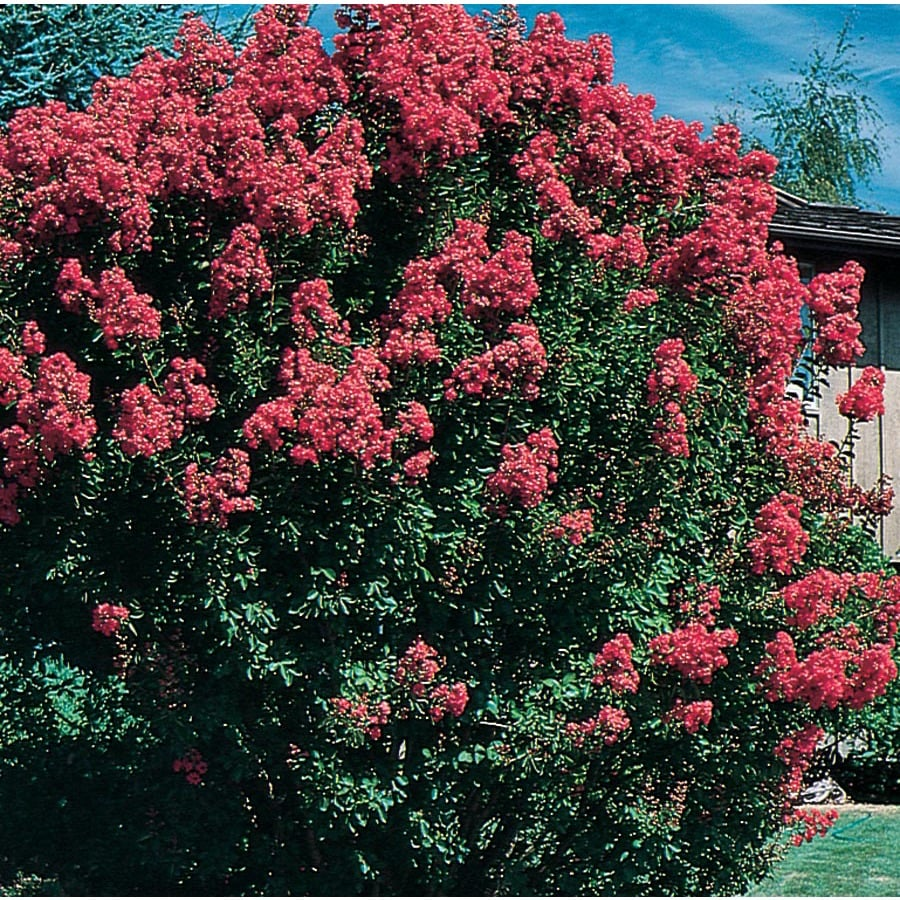 3.74-Gallon Crape Myrtle Flowering Tree (L6644)
