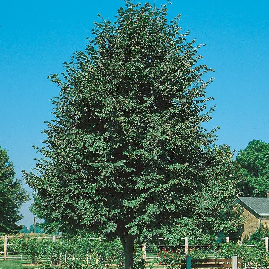 10.25-Gallon Greenspire Linden Shade Tree (L1072)