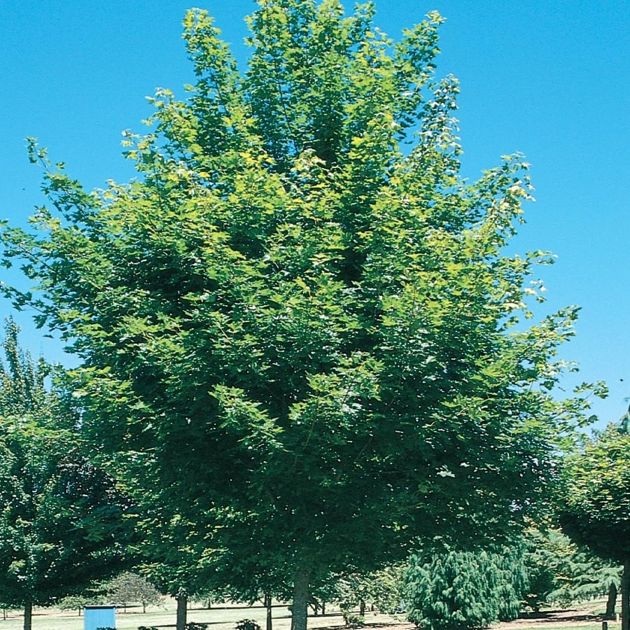 5.5-Gallon Fairview Flame Maple Shade Tree (L10003)