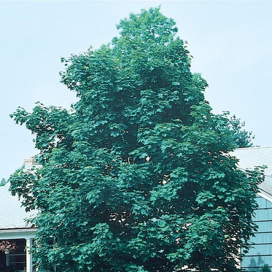 19.5-Gallon Emerald Queen Norway Maple Shade Tree (L1014)