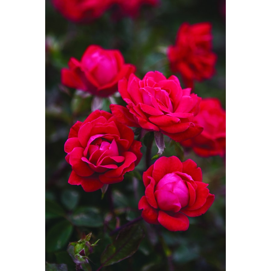 6-Gallon Pot Double Knock Out Rose Red