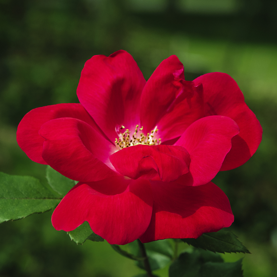 6-Gallon Pot Knock Out Rose Red