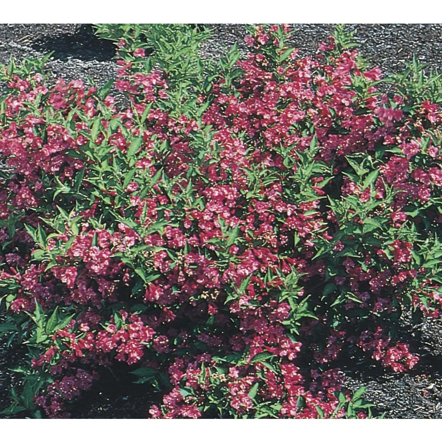 3.63-Gallon Pink Weigela Flowering Shrub (L1019)