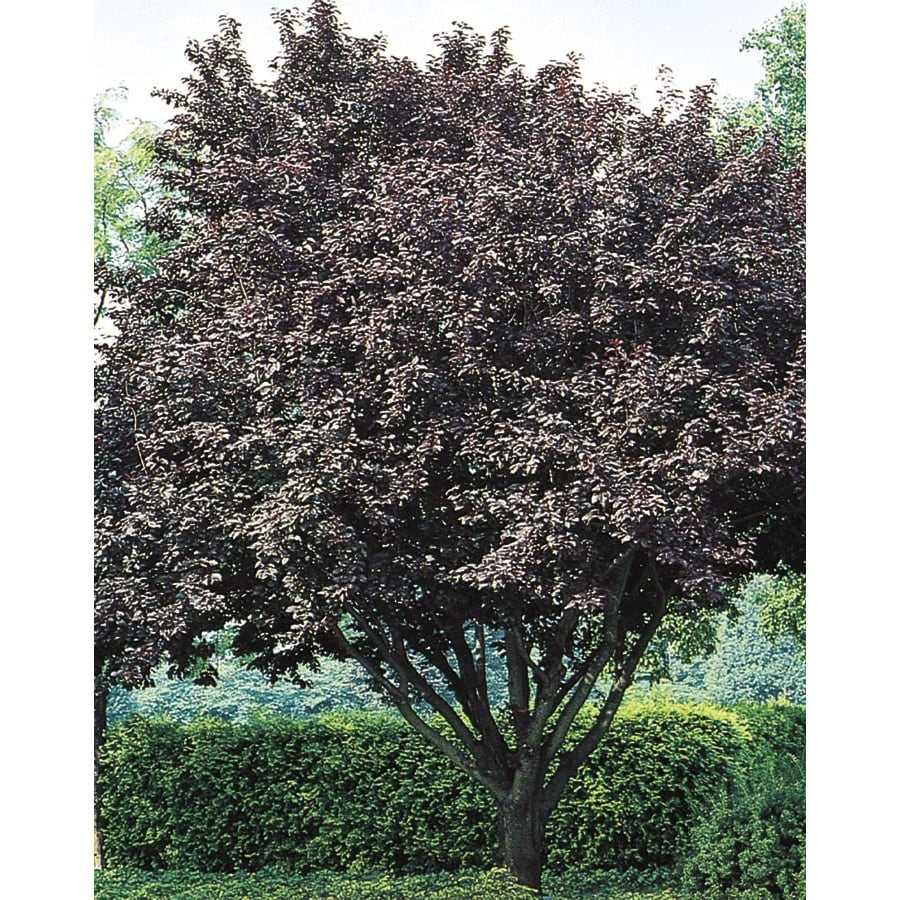 3.74-Gallon Flowering Plum Flowering Tree (L5986)