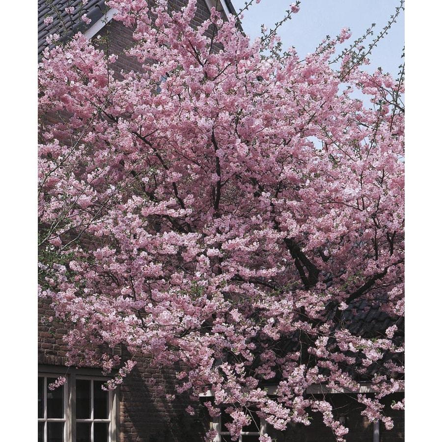 13.35-Gallon Kwanzan Flowering Cherry Flowering Tree (L1023)