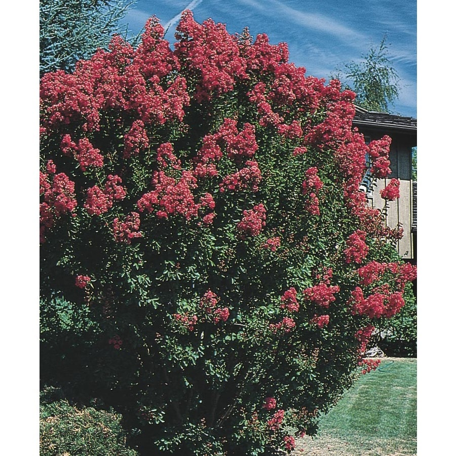 6.08-Gallon Crape Myrtle Flowering Tree (L6644)