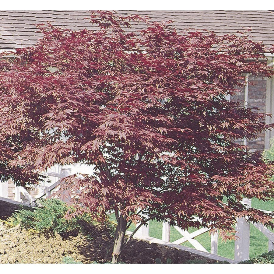 3.74-Gallon Red Japanese Maple Feature Tree (L3165)