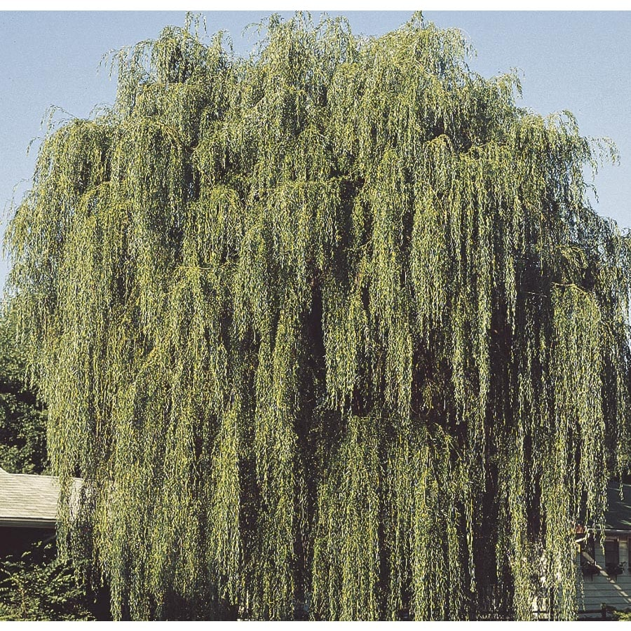 Shop 3 74 Gallon Green Weeping Willow Shade Tree L1411