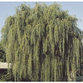 Green Weeping Willow Shade Tree (L1411) & Shop Trees at Lowes.com