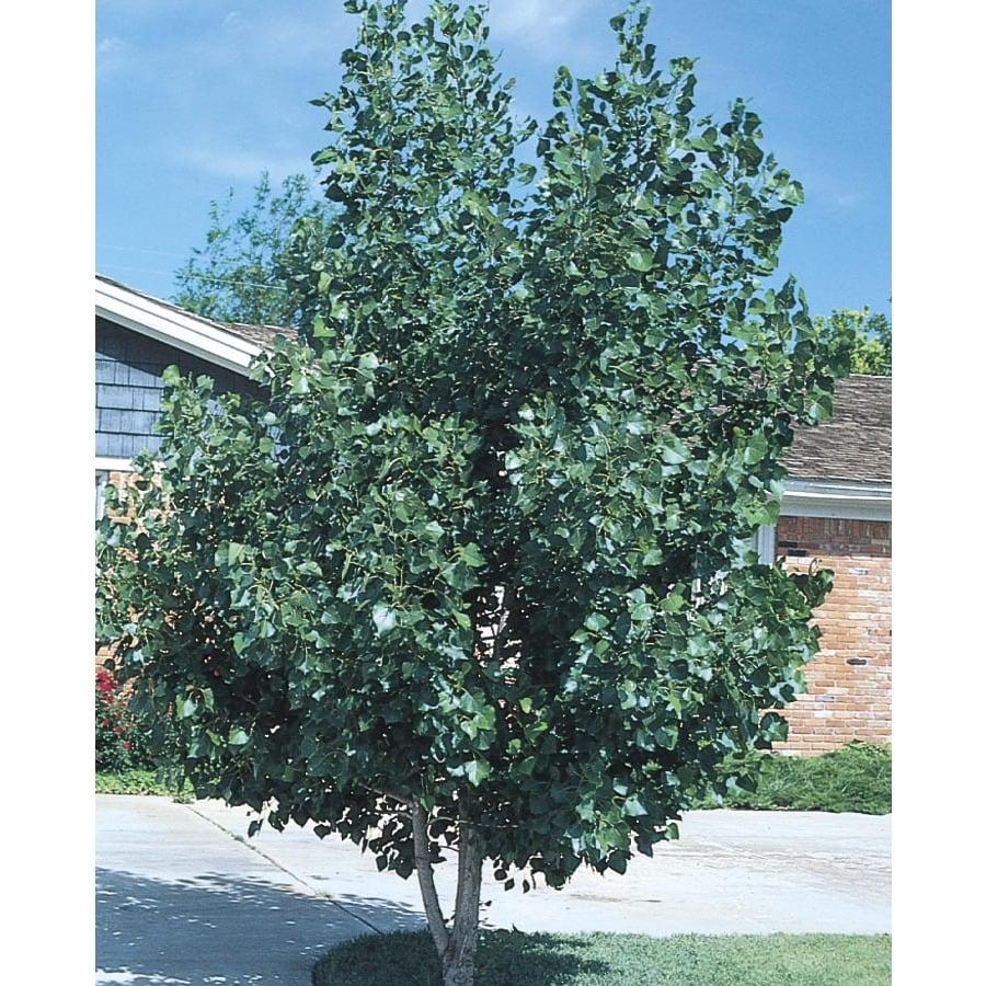3.74-Gallon Quaking Aspen Clump Shade Tree (L11832)