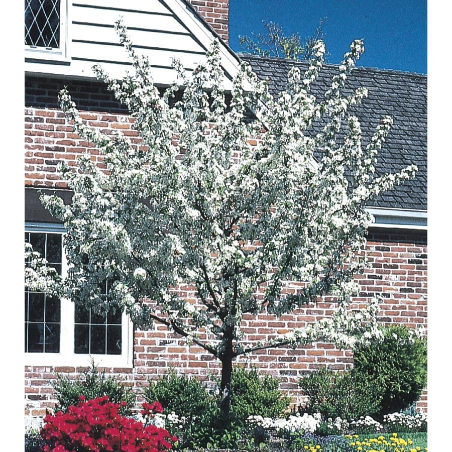 3.74-Gallon White Crabapple Flowering Tree (L10752)