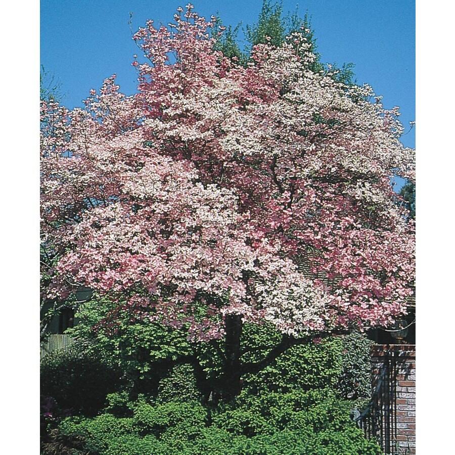 3.74-Gallon Red Flowering Dogwood Flowering Tree (L1022)