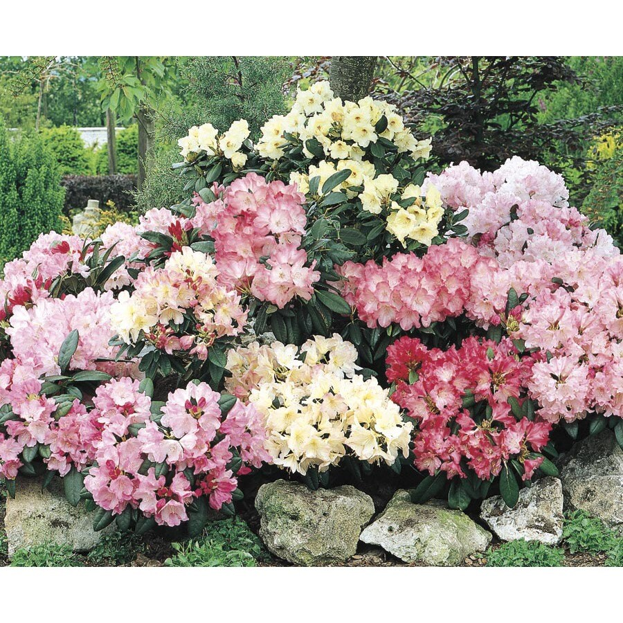 3.63-Gallon Mixed Rhododendron Flowering Shrub (L5420)