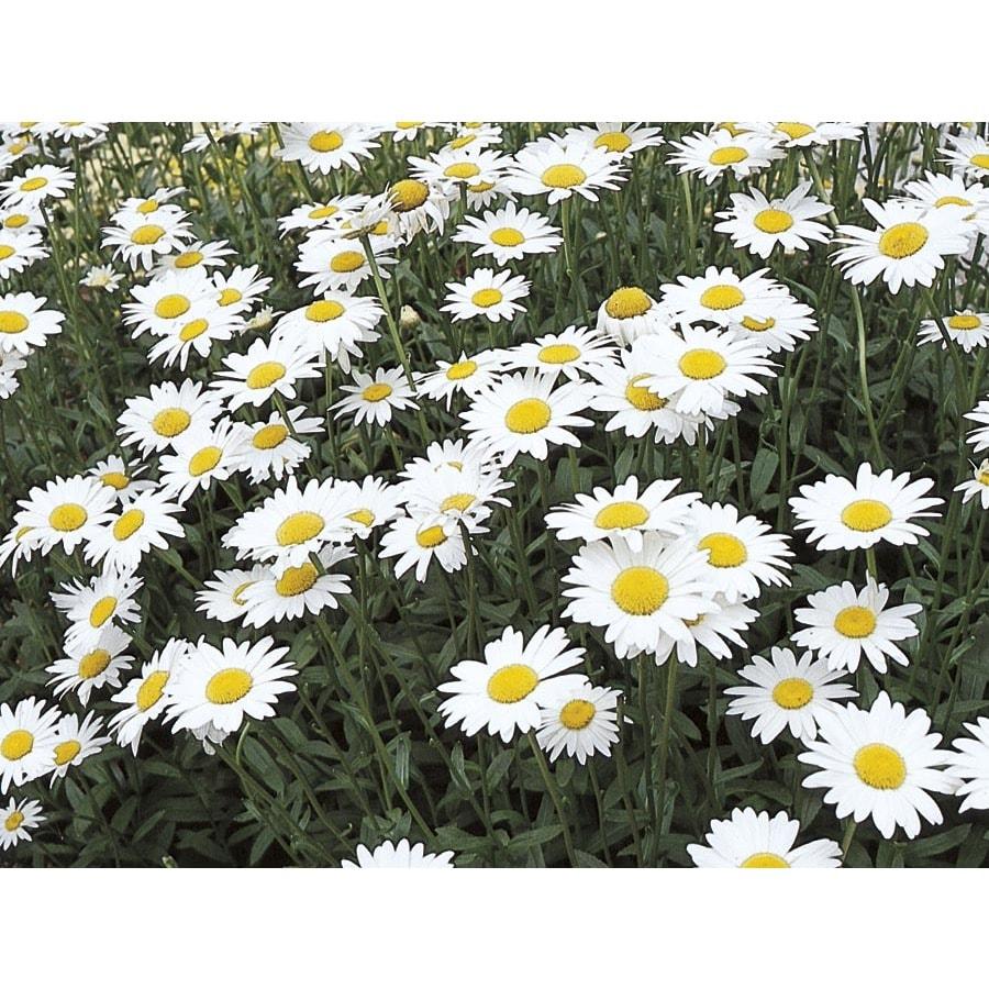 2.5-Quart Shasta Daisy (L10999)