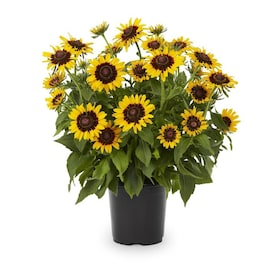 2.5-Quart in Pot Black Eyed Susan (L5336)