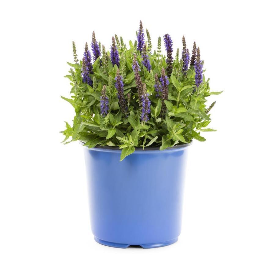 1.5-Gallon Salvia (L4091)