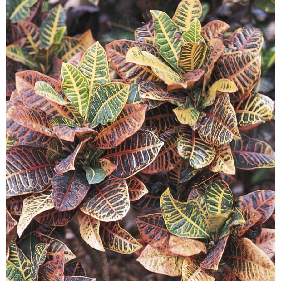2.25-Gallon Croton (L5448)