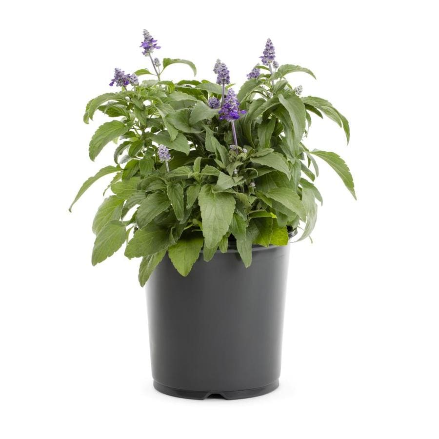 1-Gallon Salvia (L17608)
