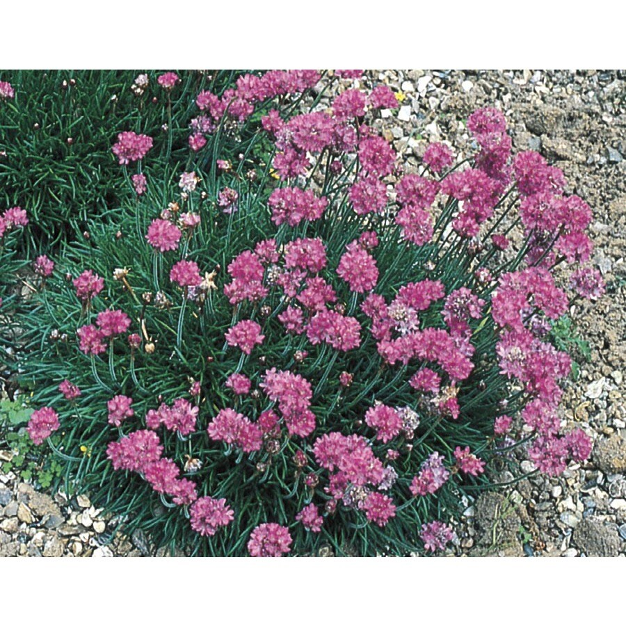 1-Quart Common Thrift (L9803)