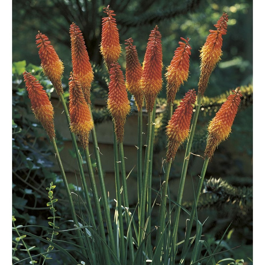 Monrovia 1-Gallon Red Hot Poker (L5331)