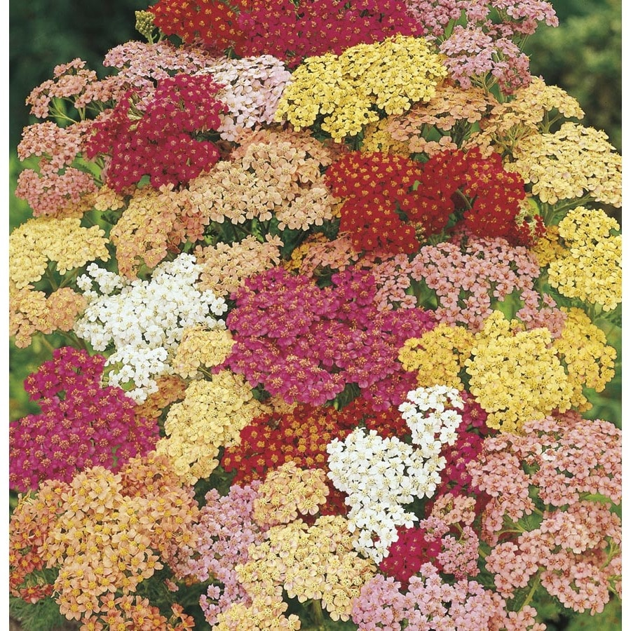 1.5-Gallon Yarrow (L7030)