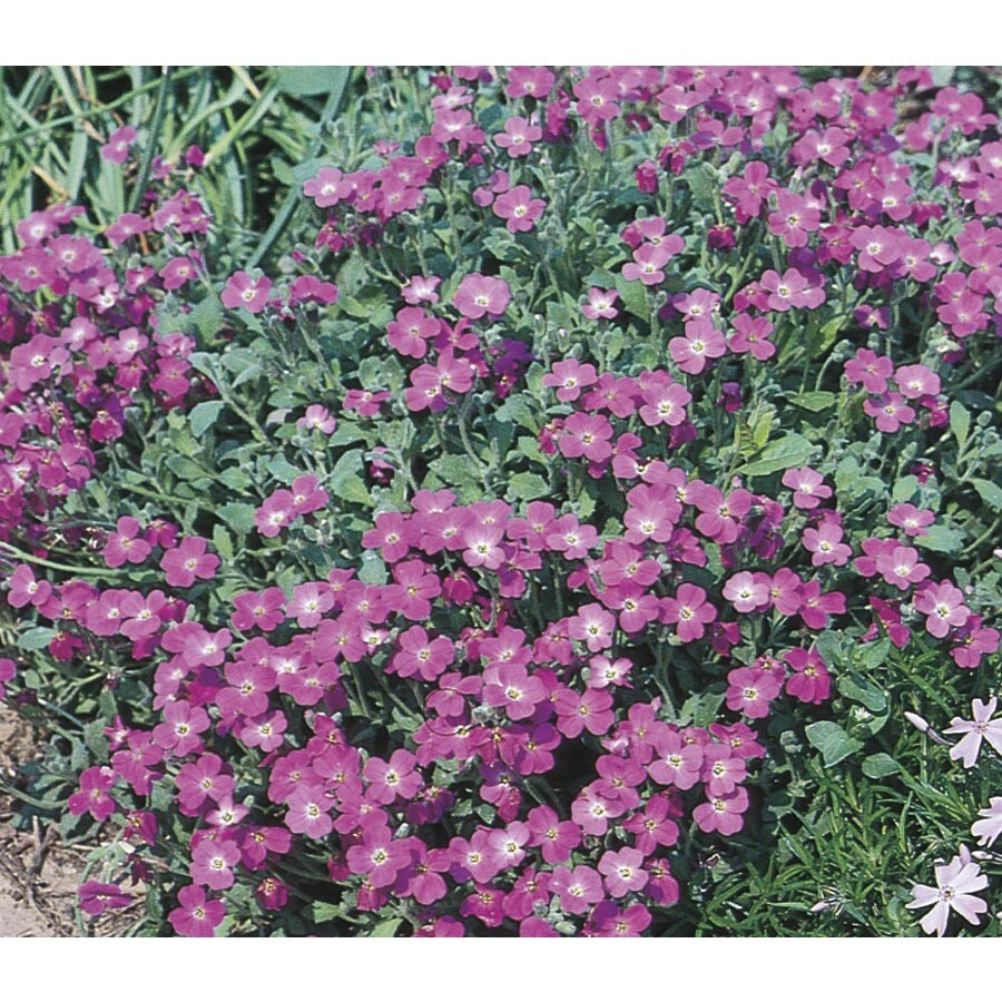 Monrovia 2.5-Quart Purple Rockcress (L4953)