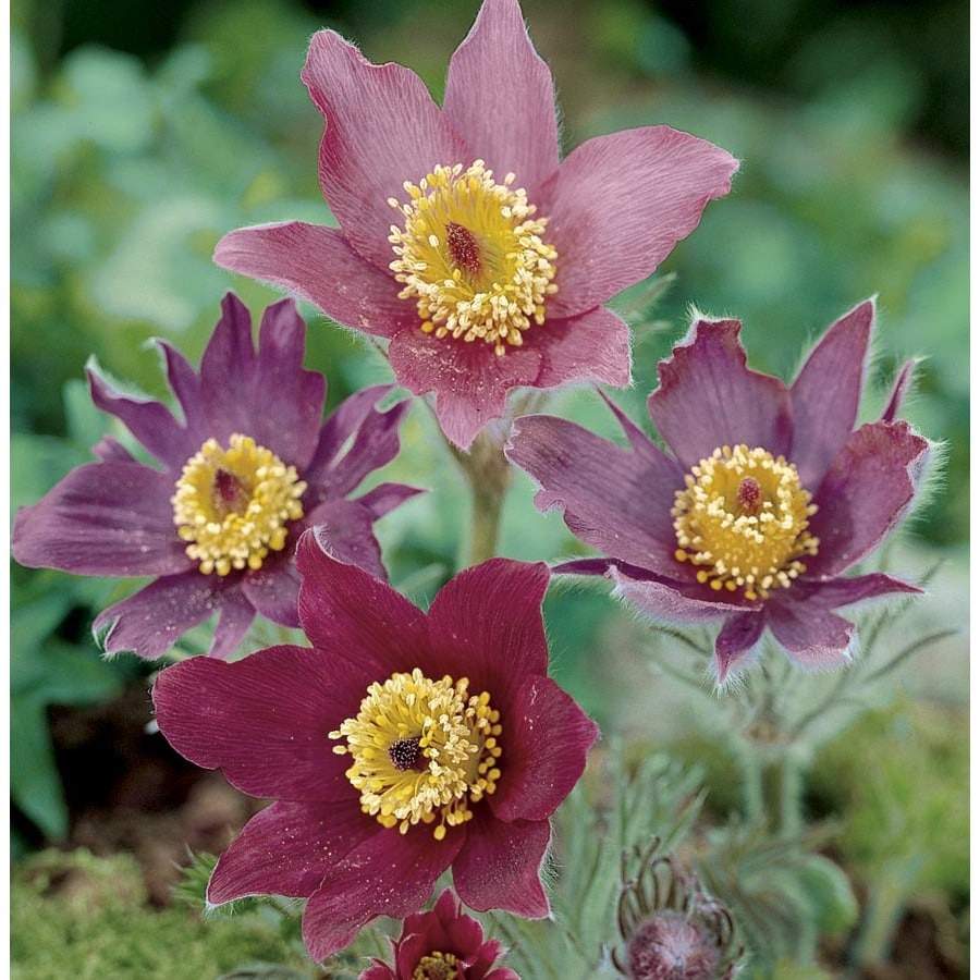 2.5-Quart Pasque Flower (L8021)