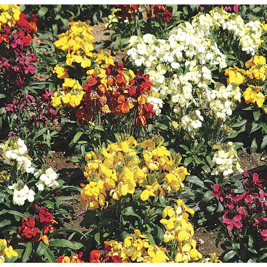 1-Gallon Wallflower (LW04008)