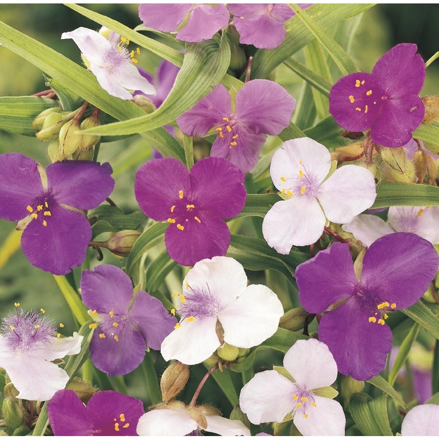 1-Gallon Spiderwort (L0047)