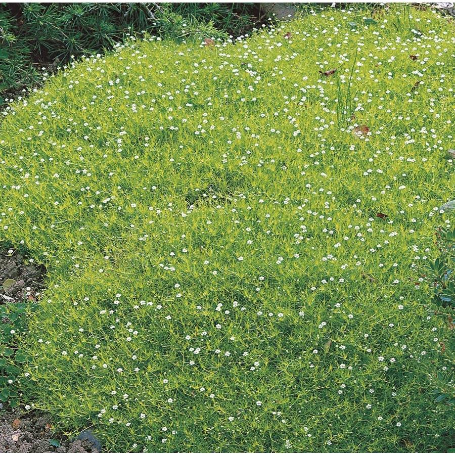 2-Quart Irish Moss Pot (Lw04022)