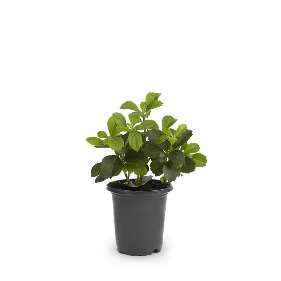 1-Pint Japanese Spurge Pot (L4289)