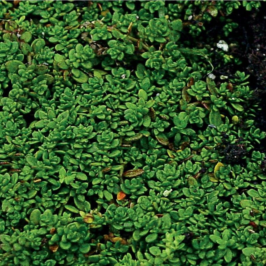 2.5-Quart Green Carpet (L2868)
