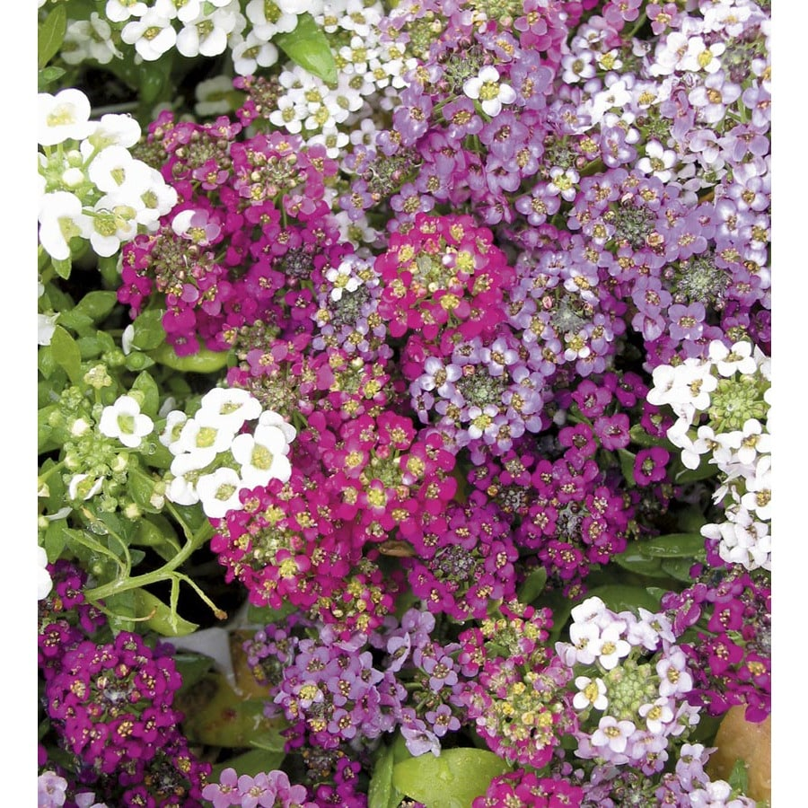 1-Gallon Alyssum (L15021)