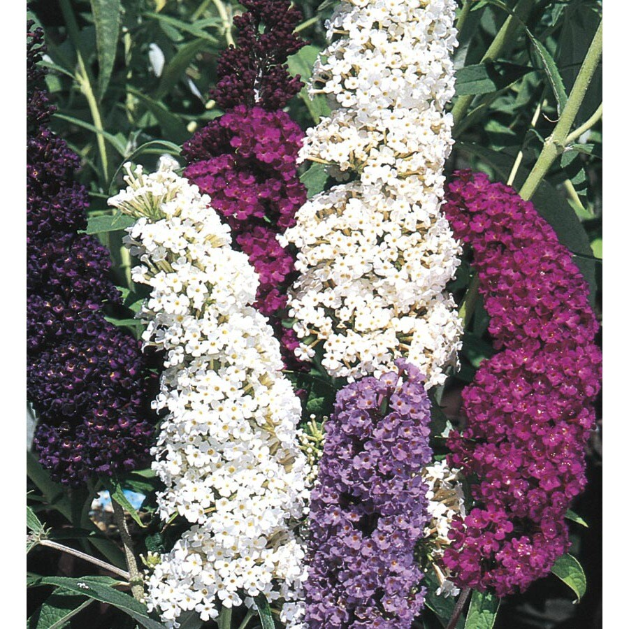 Monrovia 1-Gallon Mixed Butterfly Bush Flowering Shrub (L8073)
