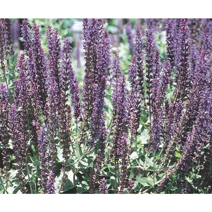 Monrovia 1-Gallon Salvia (L4091)