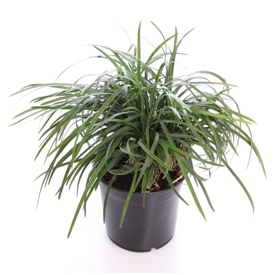 1 Pint Mondo Grass