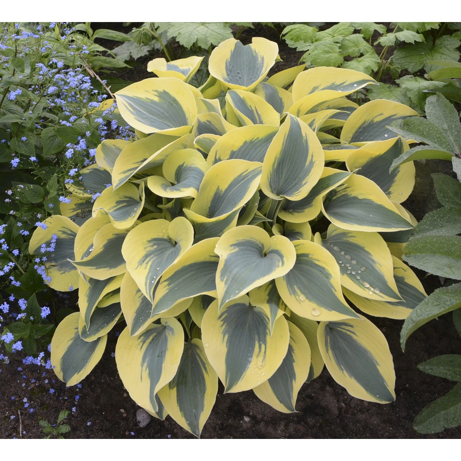 Shop 2 gallon potted plantain lily at lowes 2 gallon potted plantain lily izmirmasajfo