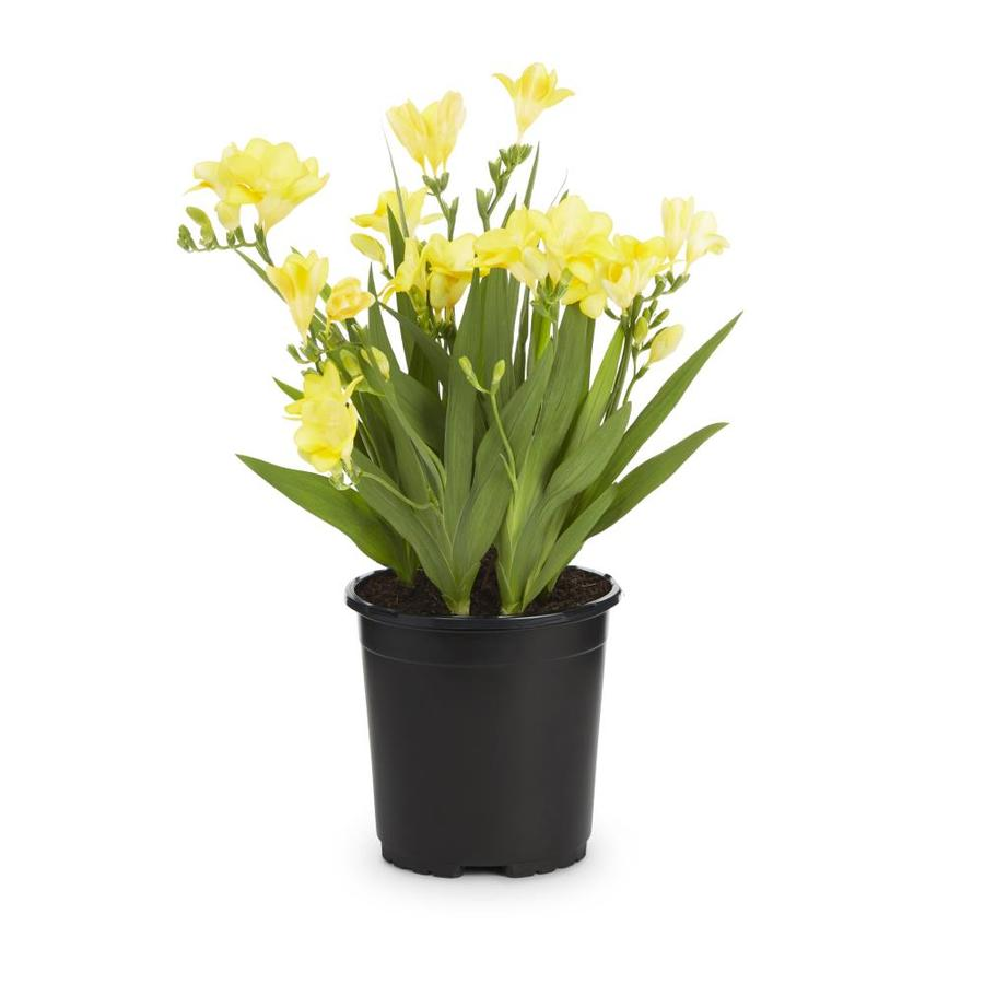 2.5-Quart Freesia Bulbs