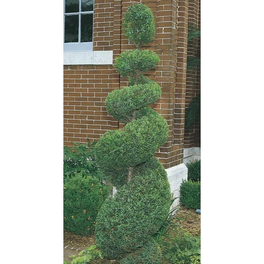 10.25-Gallon Spiral Juniper Feature Shrub (L9473)