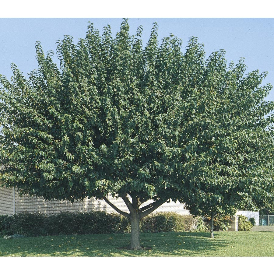28.5-Gallon Fruitless Mulberry Shade Tree (L3600)