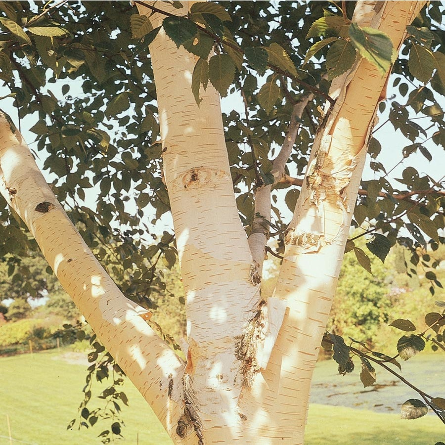 28.5-Gallon White-Barked Himalayan Birch Feature Tree (Lw00701)