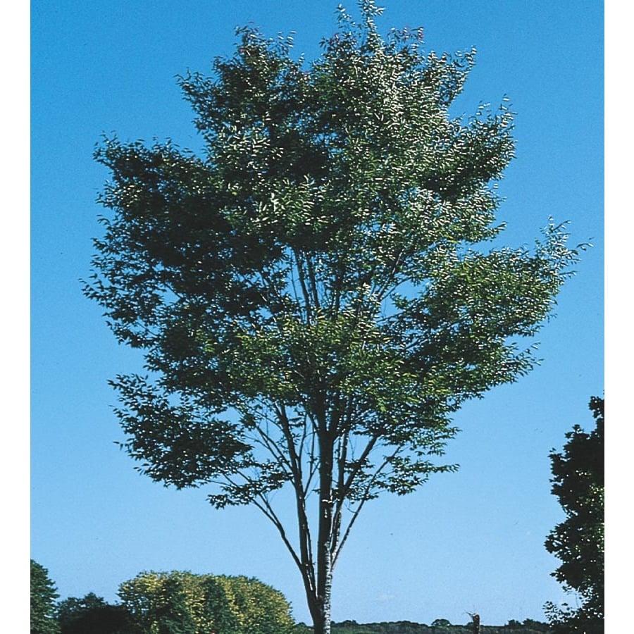 10.25-Gallon Green Vase Zelkova Shade Tree (L7836)